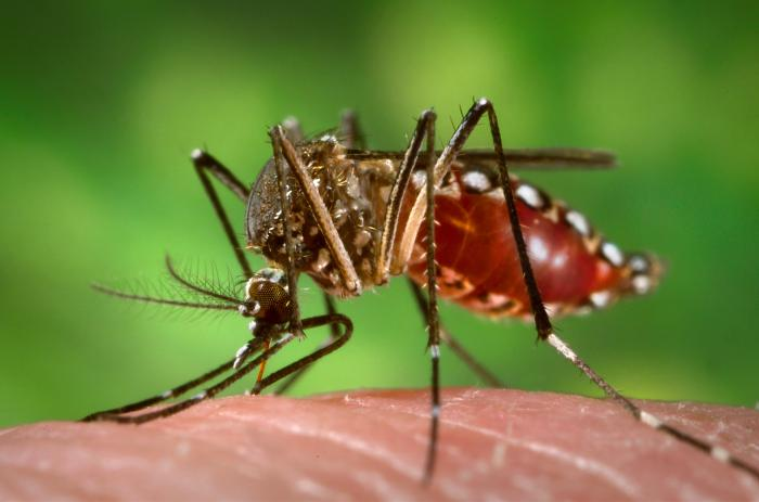 aedes_aegypti_during_blood_meal